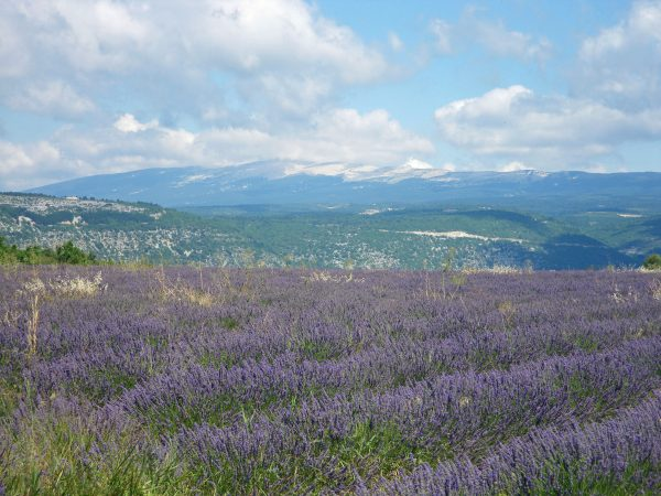 Lavender fields near Sault