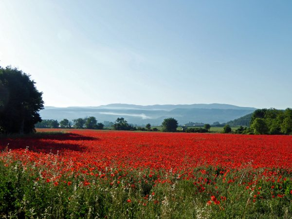 Bonnieux - poppy fields