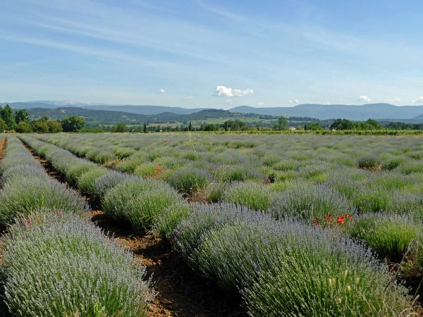 Bonnieux - lavender fields